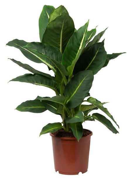 Kirjovehka, Korkeus 40 cm, Vihreä