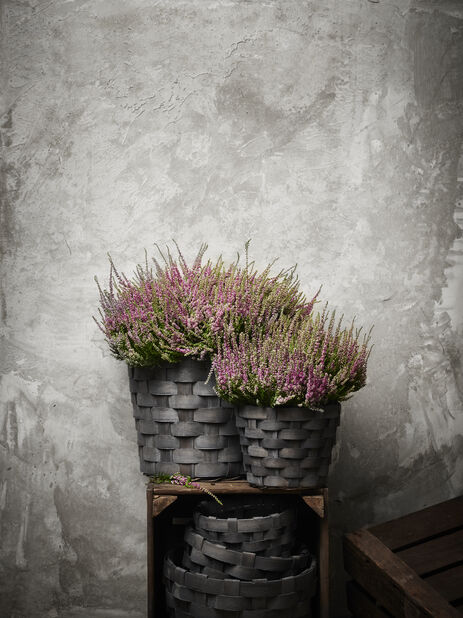 Aitokanerva 'Garden Girls', Ø12 cm, Violetti