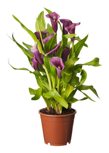 Huonevehka lila 14cm