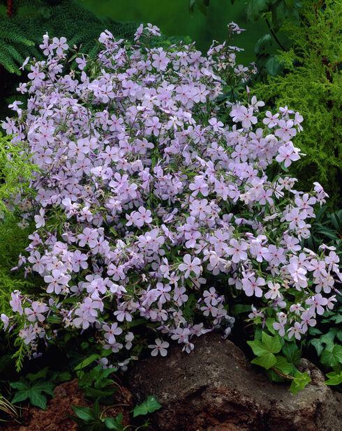 Sinileimu , Ø11 cm, Violetti