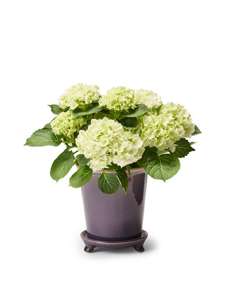 Hortensia, Korkeus 35 cm, Valkoinen