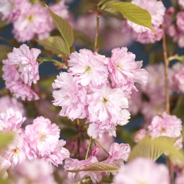 Prunus Satu-zakura 'Kanzan' 15L