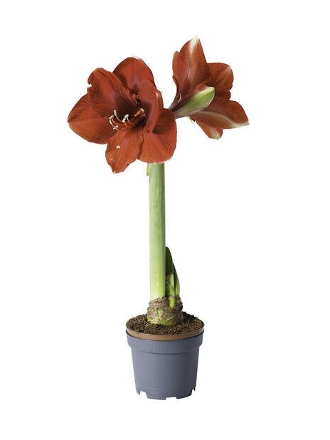 Amaryllis 1-vanainen, Ø10.5 cm, Punainen