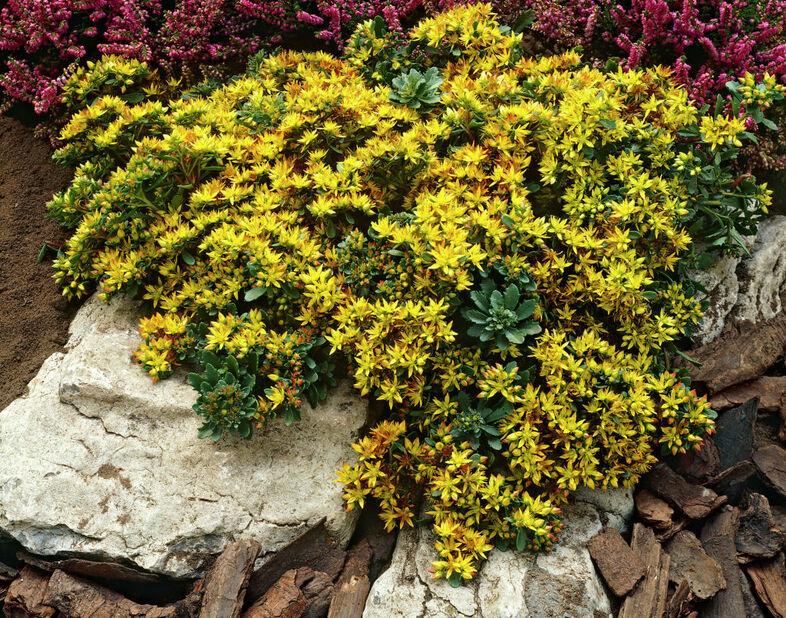 Kultamaksaruoho, Ø11 cm, Keltainen