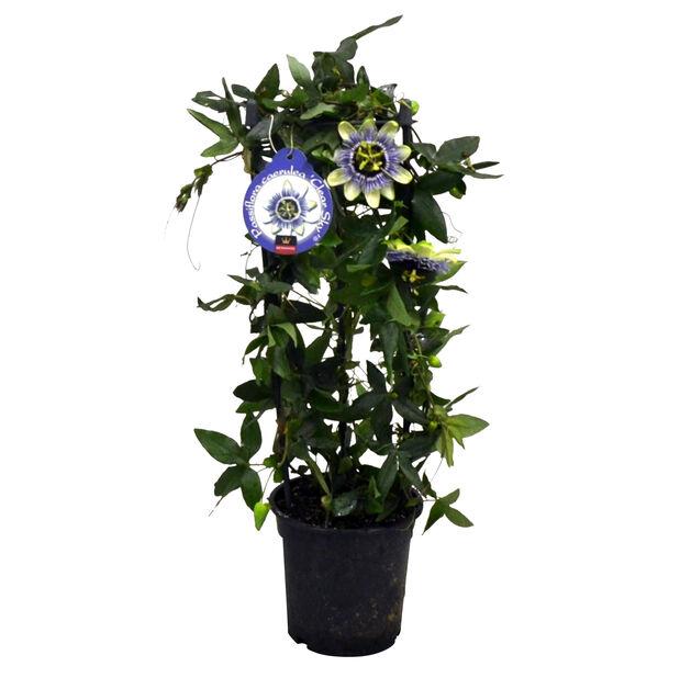 Passiflora pyramid 17 cm