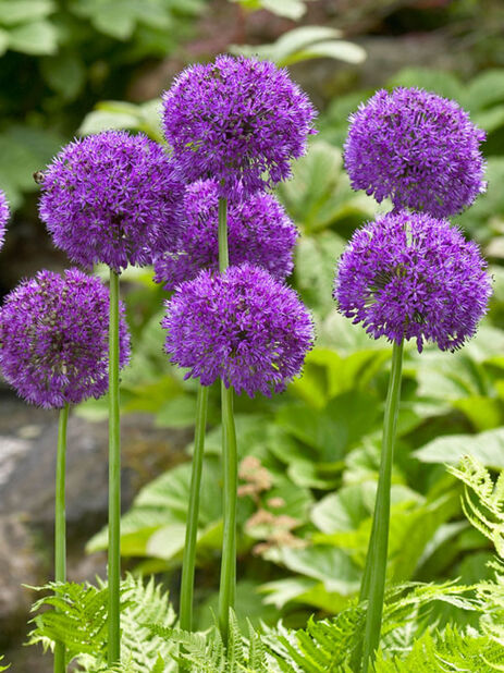Ukkolaukka 'Purple Sensation', Violetti