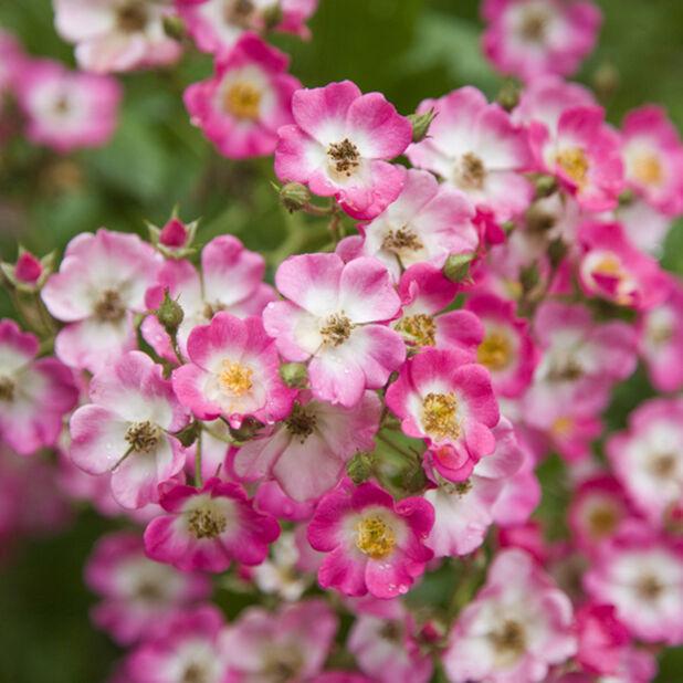 Maanpeiteruusu 'Lavender Dream' , Ø19 cm, Violetti