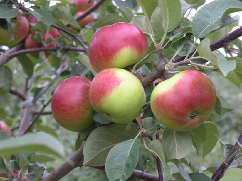 Omenapuu 'Jaspi', Korkeus 180 cm, Punainen