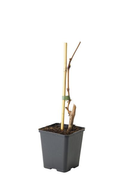 Viiniköynnös 'Sukribe' , Ø12 cm, Vihreä