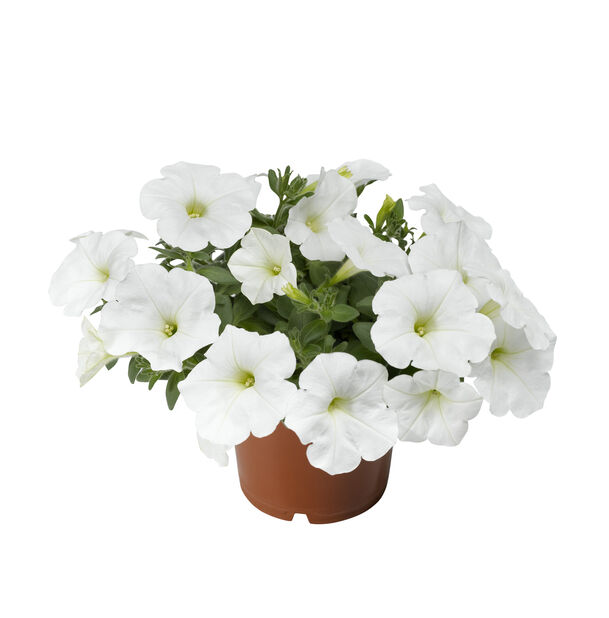 Petunia, Ø12 cm, Valkoinen