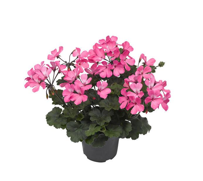 Calliope-pelargoni 'Dark Pink', Ø13 cm, Pinkki