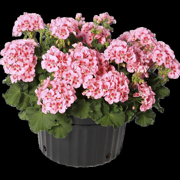 Calliope-pelargoni 'Pink Splash' amppelissa, Ø25 cm, Violetti