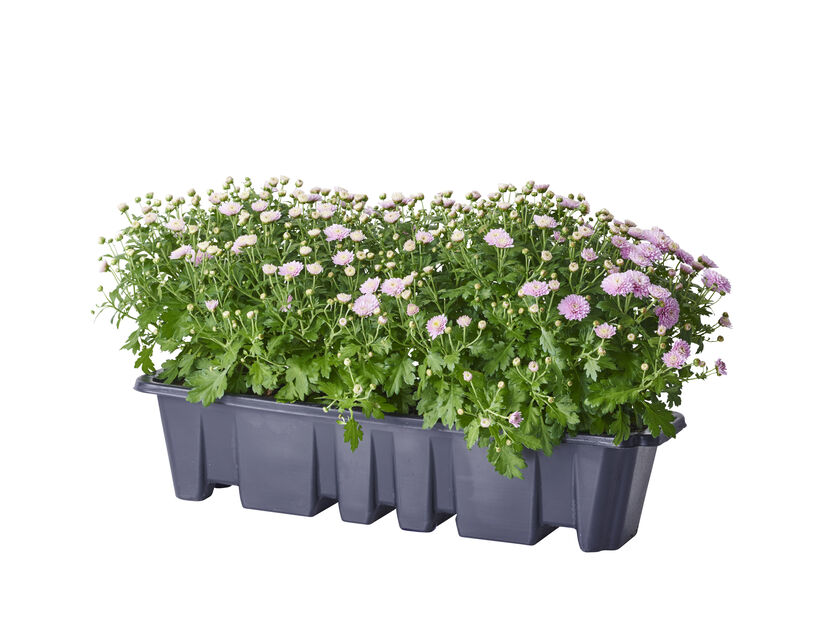 Pallokrysanteemi, Ø55 cm, Useita värejä