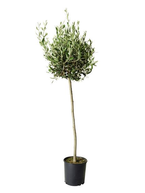 Oliivipuu rungollinen, Harmaa