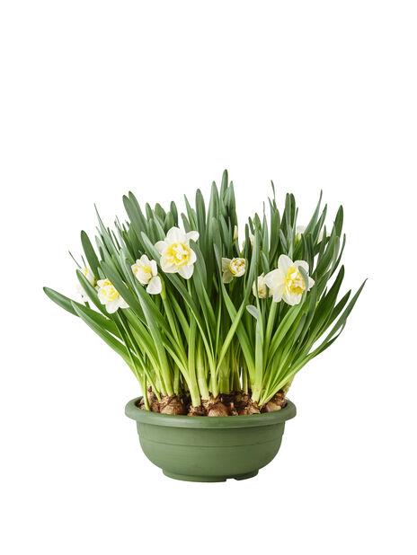 Narsissiastia 23 cm