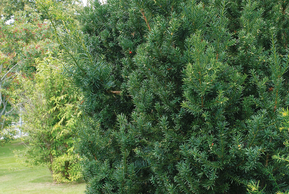 Kartiomarjakuusi 'Hillii', Korkeus 40-50 cm, Vihreä