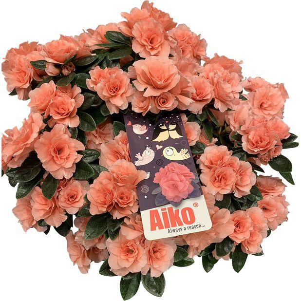 Atsalea 'Aiko Rosa', Ø12 cm, Terrakotta