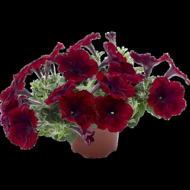 Petunia 'Deep Burgundy', Ø12 cm, Viininpunainen