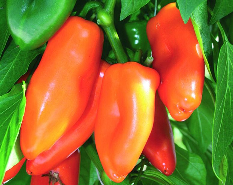Chili 'Bonzi', Ø12 cm, Punainen