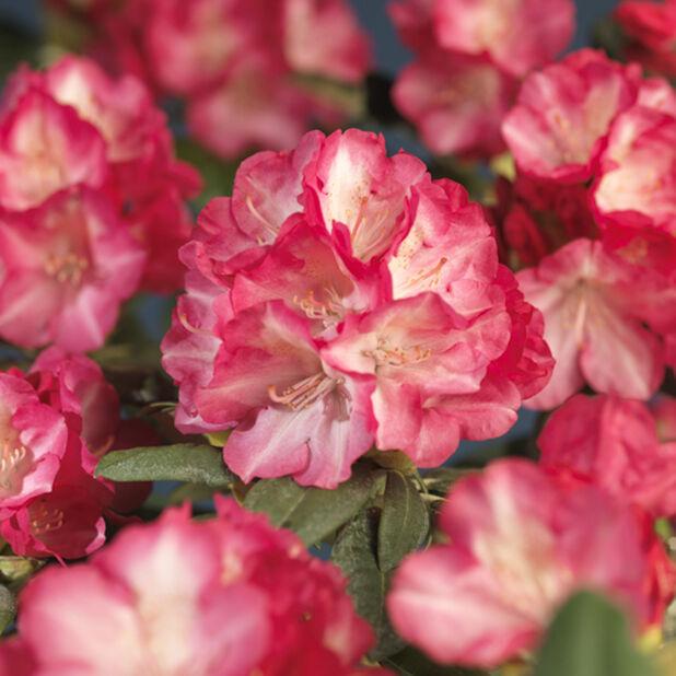 Yakushimanalppiruusu 'Fantastica', Ø21 cm, Pinkki