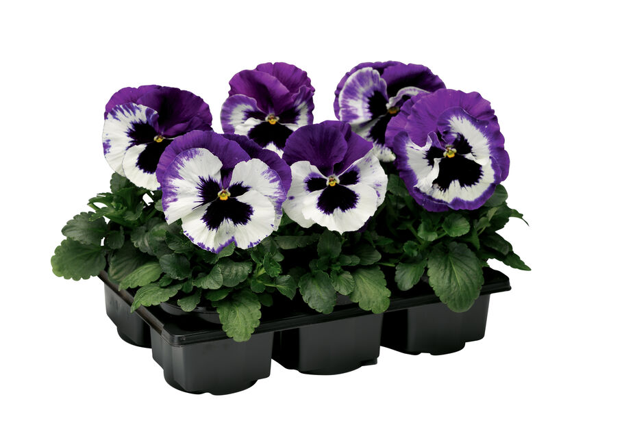 Viola big fl. Purple fl. 6-pack