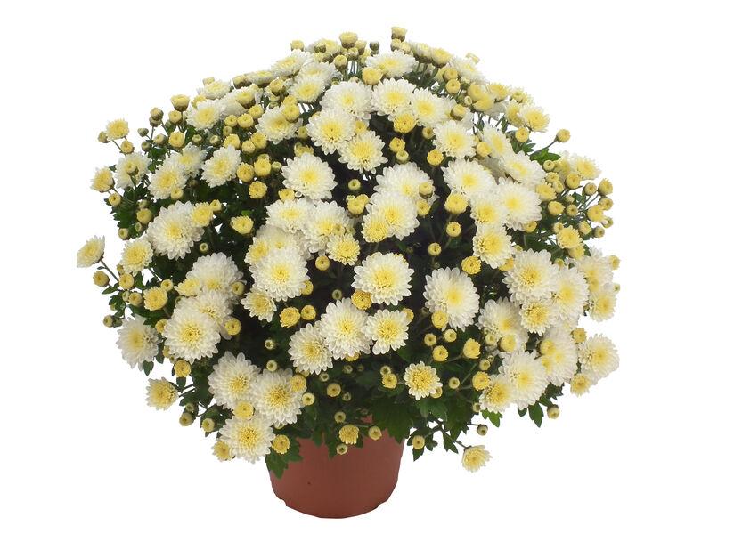 Pallokrysanteemi 14 cm valkoinen