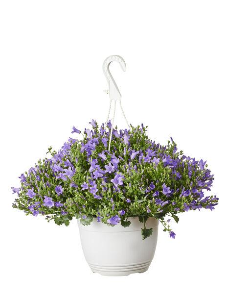 Campanula Monique Blue h. basket 22 cm