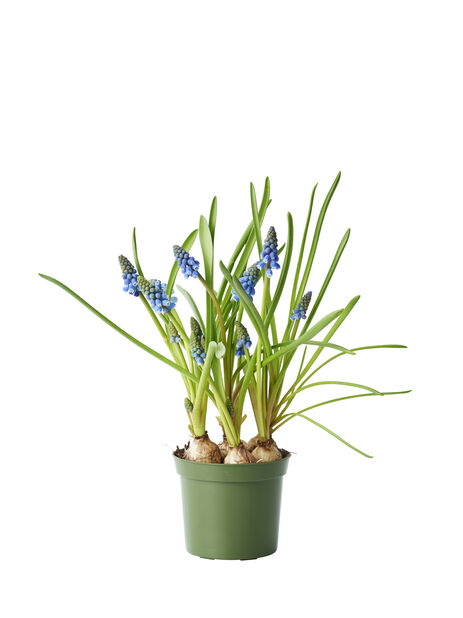 Helmililja 'Blue Magic' , Ø9 cm, Sininen