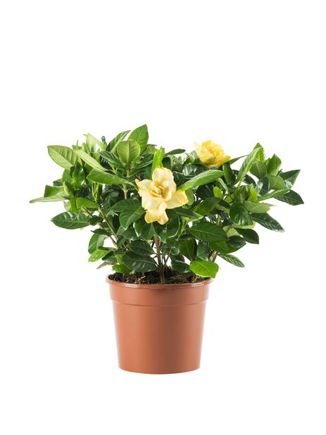 Gardenia, Korkeus 30 cm, Valkoinen