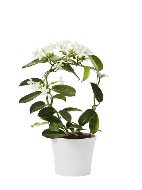 Tuoksuköynnös  , Korkeus 40 cm, Valkoinen