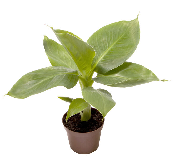 Banaani, Korkeus 10 cm, Vihreä