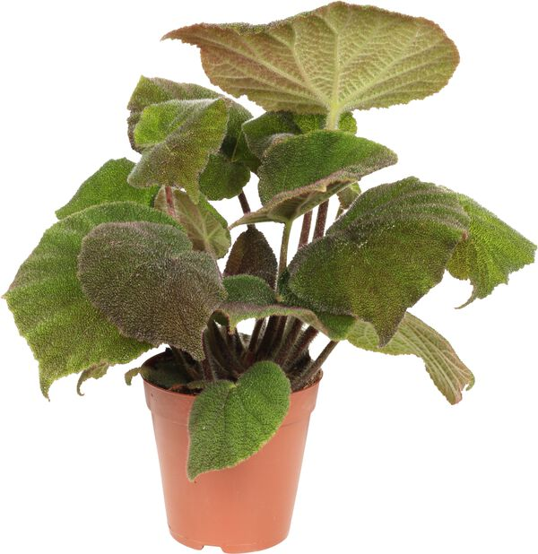 Begonia, Korkeus 30 cm, Vihreä