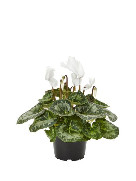Cyclamen persicum 12cm, White