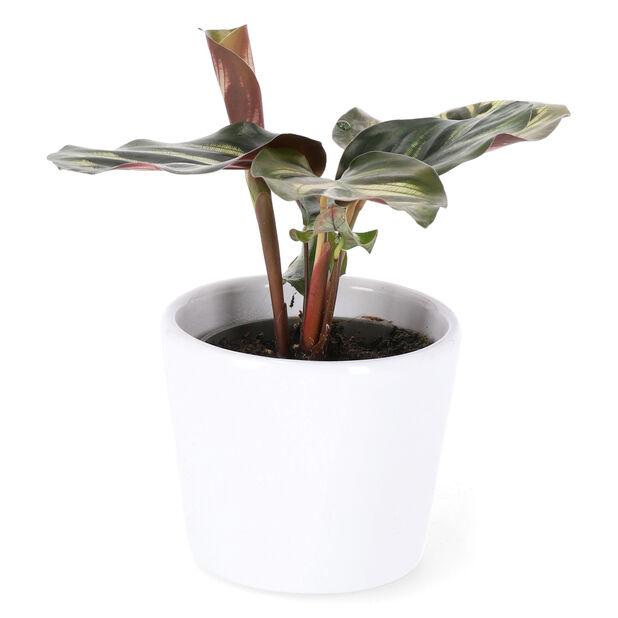 Täplämaija, Korkeus 10 cm, Vihreä