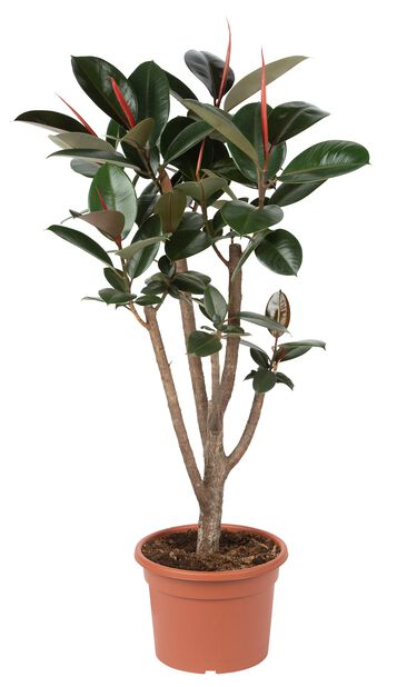 Ficus Elastica 30 cm