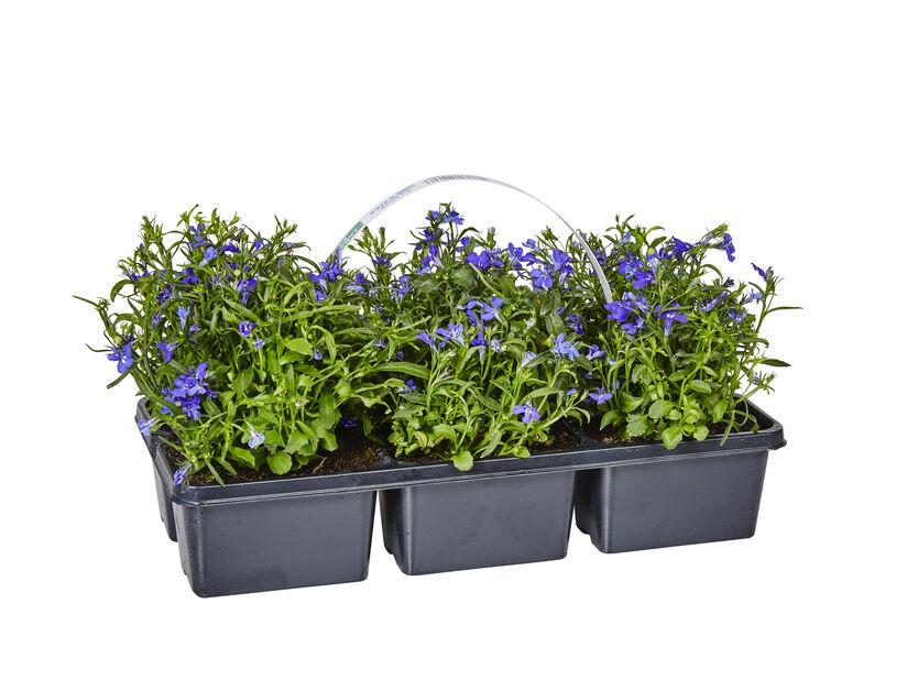 Lobelia upright Purple 6-pack