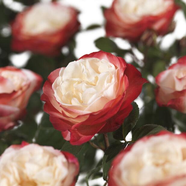 Isokukkainen ruusu 'Nostalgie', Ø23 cm, Monivärinen