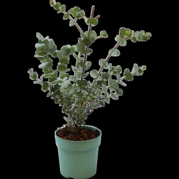 Hopeaeukalyptus 'Azura', Ø12 cm, Harmaa