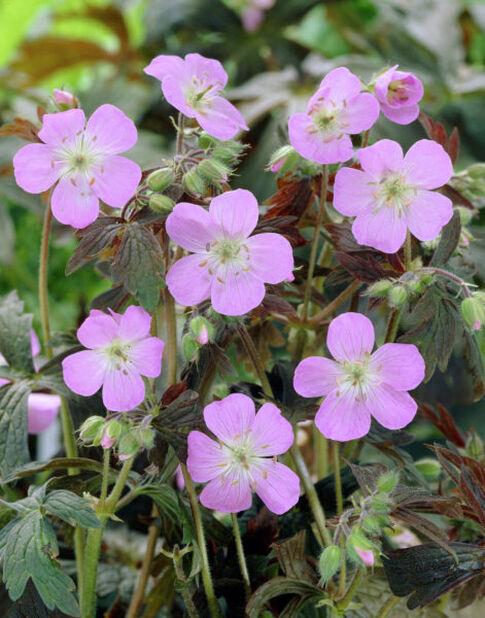 Tuoksukurjenpolvi , Ø11 cm, Pinkki