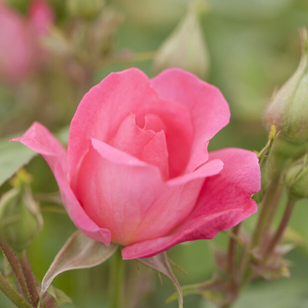 Tertturuusu `Melrose`, Ø19 cm, Pinkki
