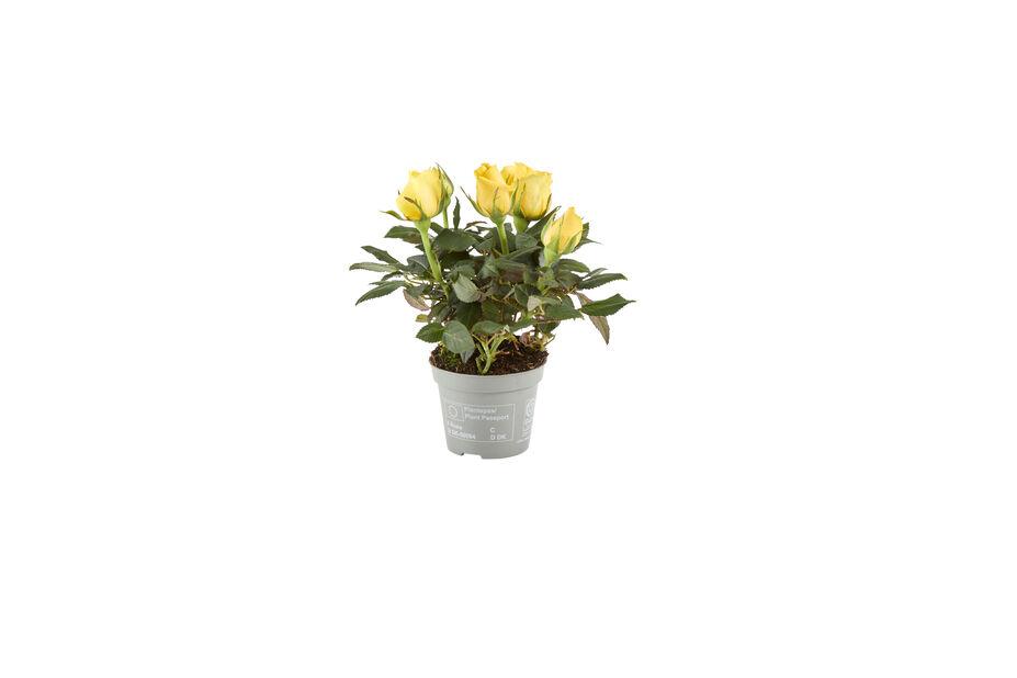Ruukkuruusu , Korkeus 12 cm, Keltainen