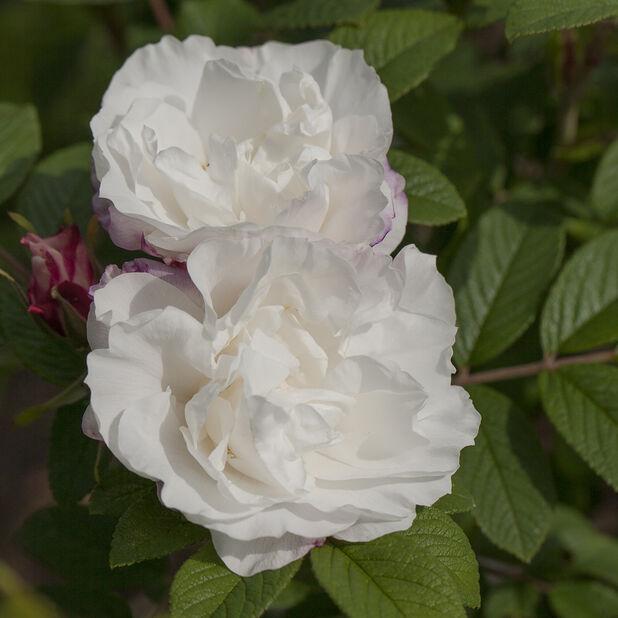 Tarhakurtturuusu 'Louise Bugnet', Ø19 cm, Valkoinen