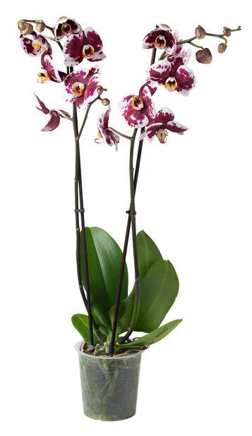 Perhosorkidea, Ø12 cm, Useita värejä