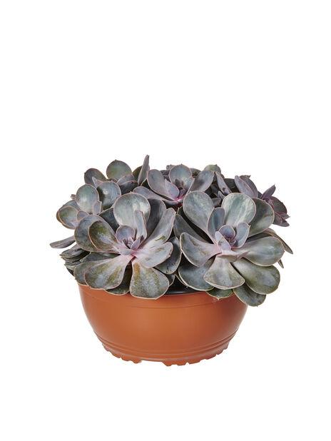 Succulent, Ø23 cm, Vihreä