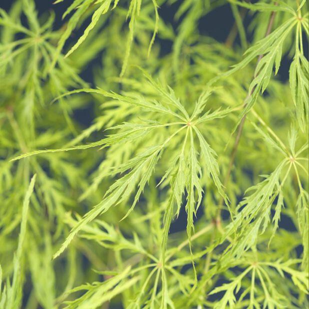 Japaninvaahtera 'Dissectum', Korkeus 40 cm, Vihreä