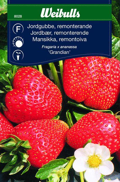 Mansikka 'Grandian'