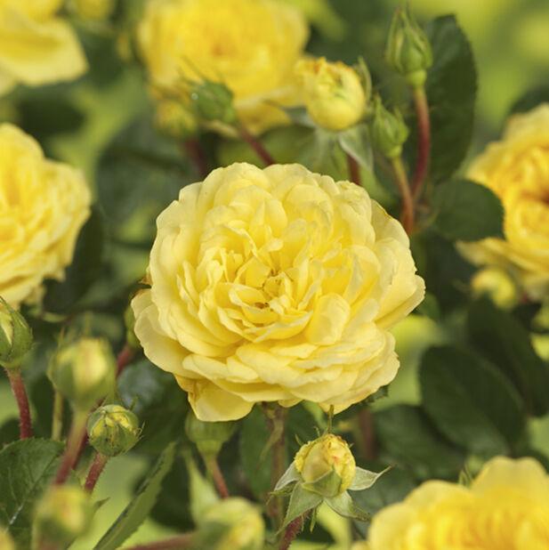 Terassiruusu 'Meilove keltainen' , Ø23 cm, Keltainen