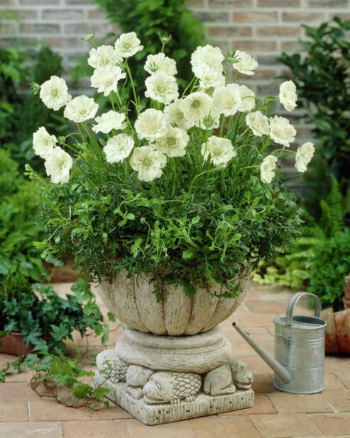 Kaukasiantörmäkukka , Korkeus 15 cm, Valkoinen