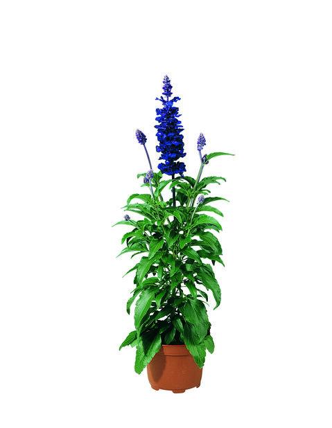 Salvia 'Blue Emotion' 12 cm