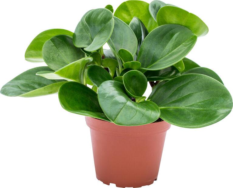 Amerikanmuori 'Green' , Korkeus 20 cm, Vihreä
